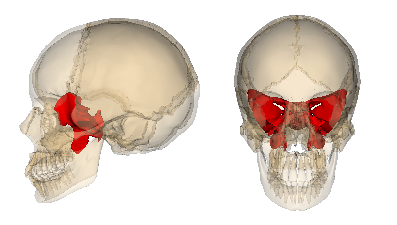 the body beyond: the sphenoid bone, Human body
