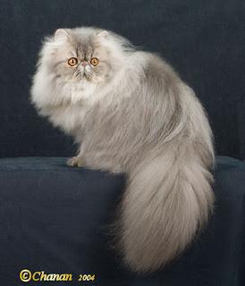 PERSI AN CAT
