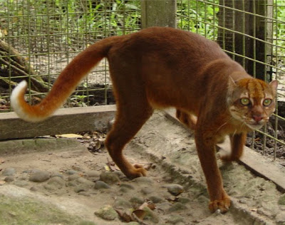 Borneo Bay Cat