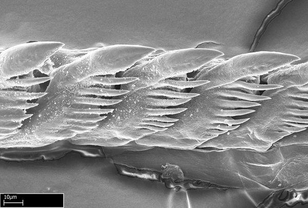 blue sea slug. than other sea slugs it is