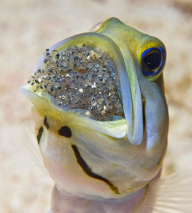 Yellowhead jawfish men are keepers featured creature for What do fish see