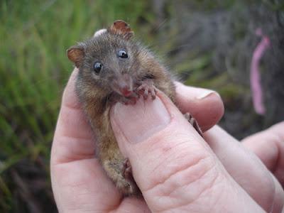 honey possum
