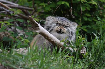 pallas's cat, manul