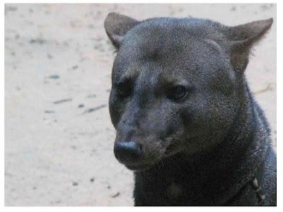 short eared dog