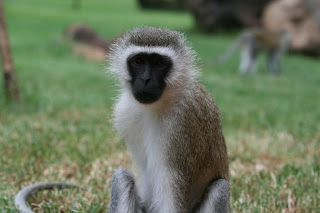 Kenya Amboseli Monkey watching first aid