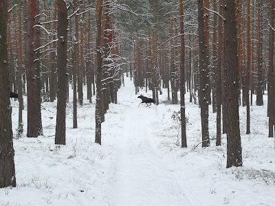 Spotkanie z łosiem/Meeting with a moose