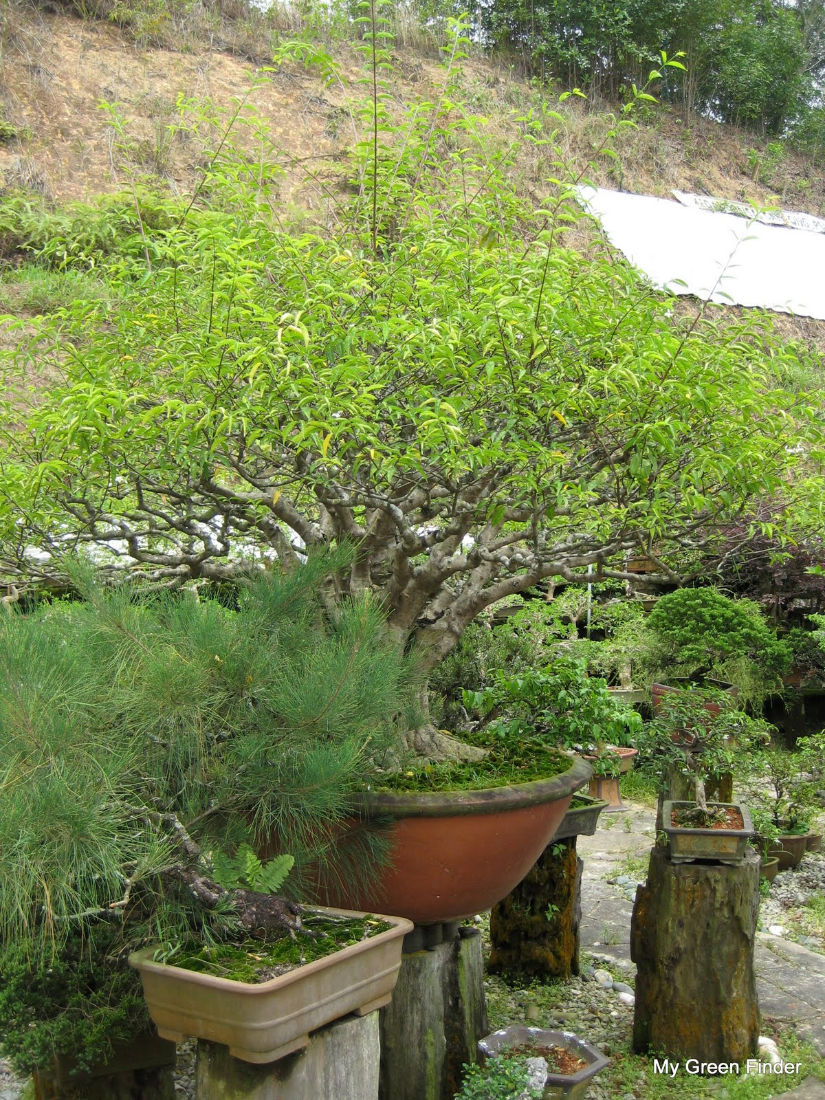 MY GREEN FINDER Plant Vendors Sanfong Bonsai Amp Art Garden