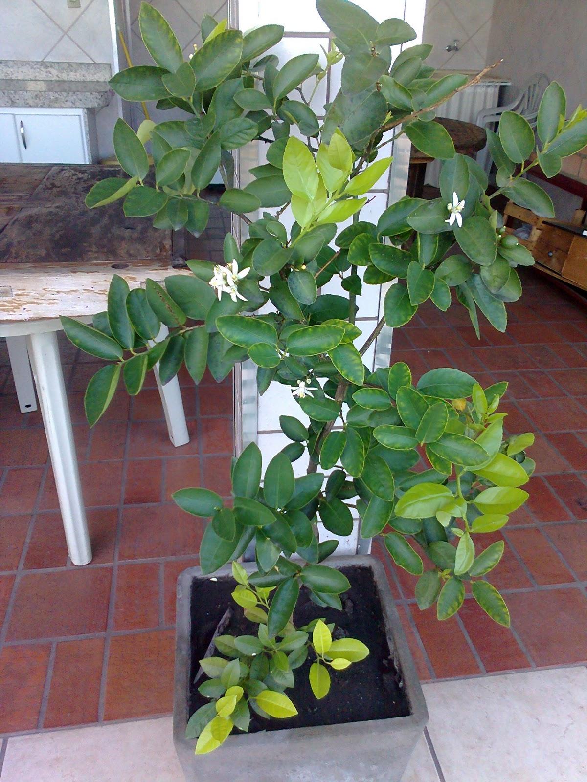 Natureza dentro de casa: Pé de Limão plantado no vaso