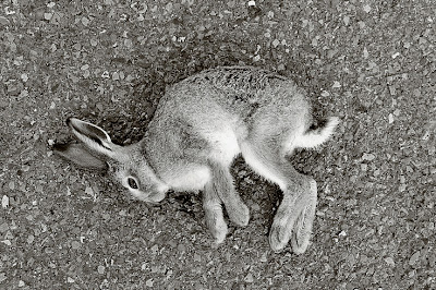un lapin écrasé sur la route, rabbit road victim, photo © dominique houcmant