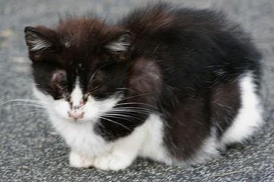 Tuxedo feral kitten photo