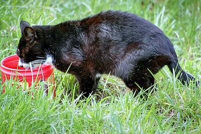 feral tom cat Shemp, tuxedo kitty, takes a drink