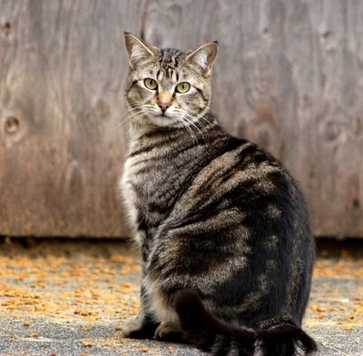 Tabitha, a rescued feral cat, bright and noble, photo
