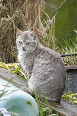silver tabby kitten sitting, looking at us, full body photo