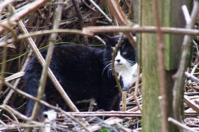 feral cat black and white tuxedo tom in the brush