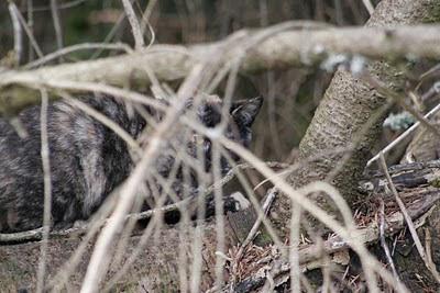 Tortoise shell cat, a feral hidden in the brush