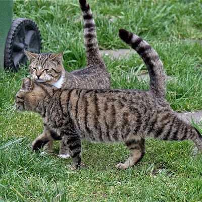 Affection, a feral tabby cat mother and her adult son