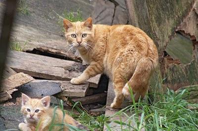 orange-buff feral cat mom with one fuzzy orange kitten