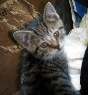 little tabby feral kitten photo