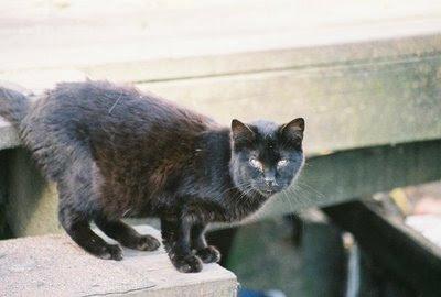 black cat photo, feral cat picture