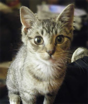 Rescued sick feral kitten - today, a happy and healthy tabby kitten