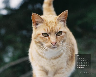 free desktop wallpaper cat calendar for June - Coppertop. Click on image to get full-size, then right-click and save as background