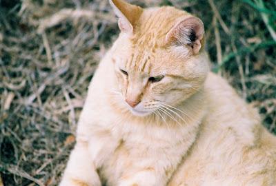 Face portrait of Orange Midtail Cat