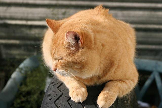 Hammie the orange bobtail cat speaks