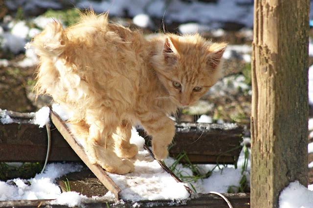 Flee, the fuzzy bobtail feral kitten, investigates some snow