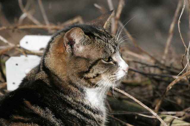 Handsome, pretty tabby cat tuxedo striped feral tom