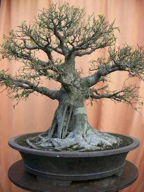 bonsai ringin