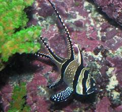 Captive Bred Bangaii Cardinalfish