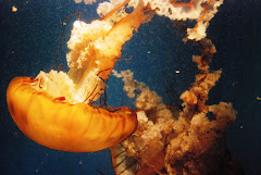 Birch Aquarium: Sea Nettles