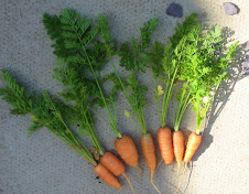 home grown carrots.. grown from seed