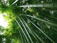 Como as sementes de bambú, nasceram nossos desejos De susana colucci