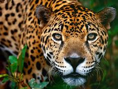 En Venezuela bióloga intenta salvar a misterioso jaguar