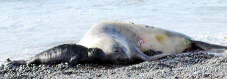 Elephant seals in Valdes  Creek. Breeding and Reproduction Season