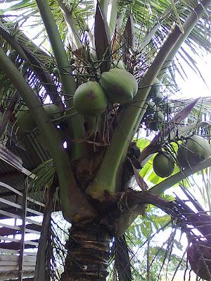 Pokok kelapa inilah pokok kelapa yang terakhir