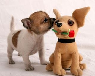 anak anjing chihuahua lucu