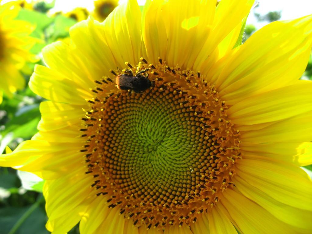 http://1.bp.blogspot.com/_jvzbDEwafMo/TC4DvWqz4aI/AAAAAAAAAGA/vCtA10uNWV0/s1600/floarea-soarelui.jpeg