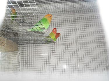 algumas das minhas aves na voadeira