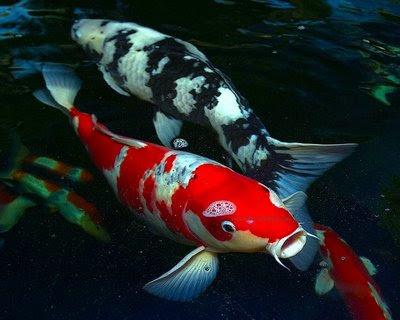 ... perikanan: gambar ikan neon tetra, guppy, ikan mas