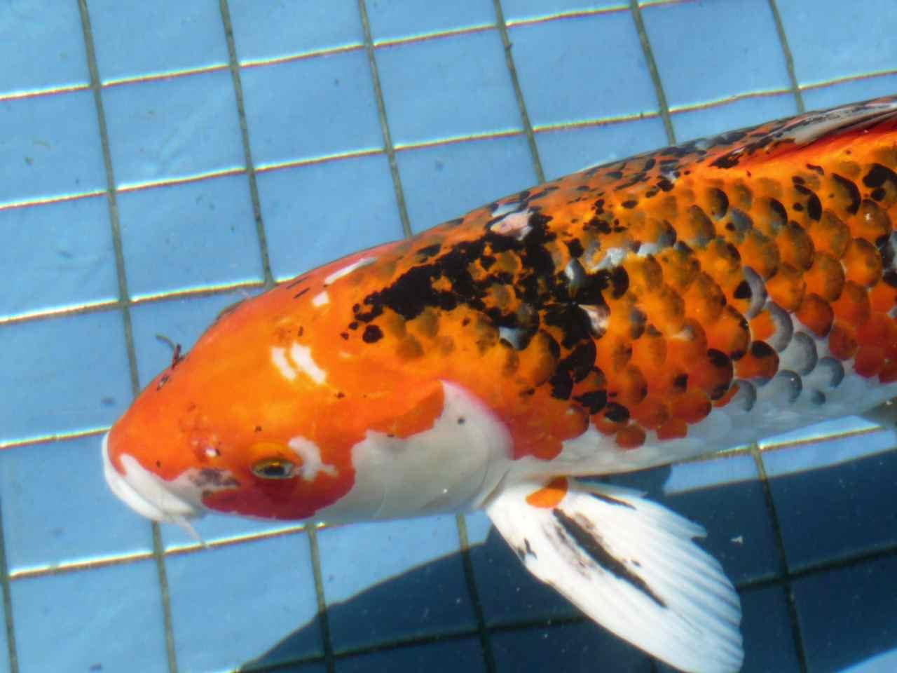 Real koi fish for Koi fish lifespan