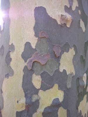 Tree bark that looks like camouflage