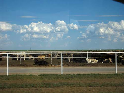 Many cows in a dirt field behind a fence