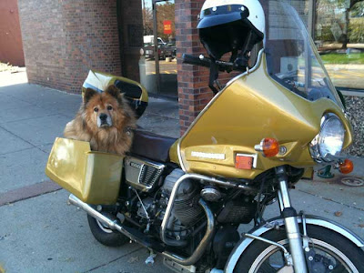 Brown dog tucked into a side panier on a large gold motorcycle, parked outside a glass bank door.