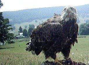 3-4 year Bald Eagle has a bad wind day