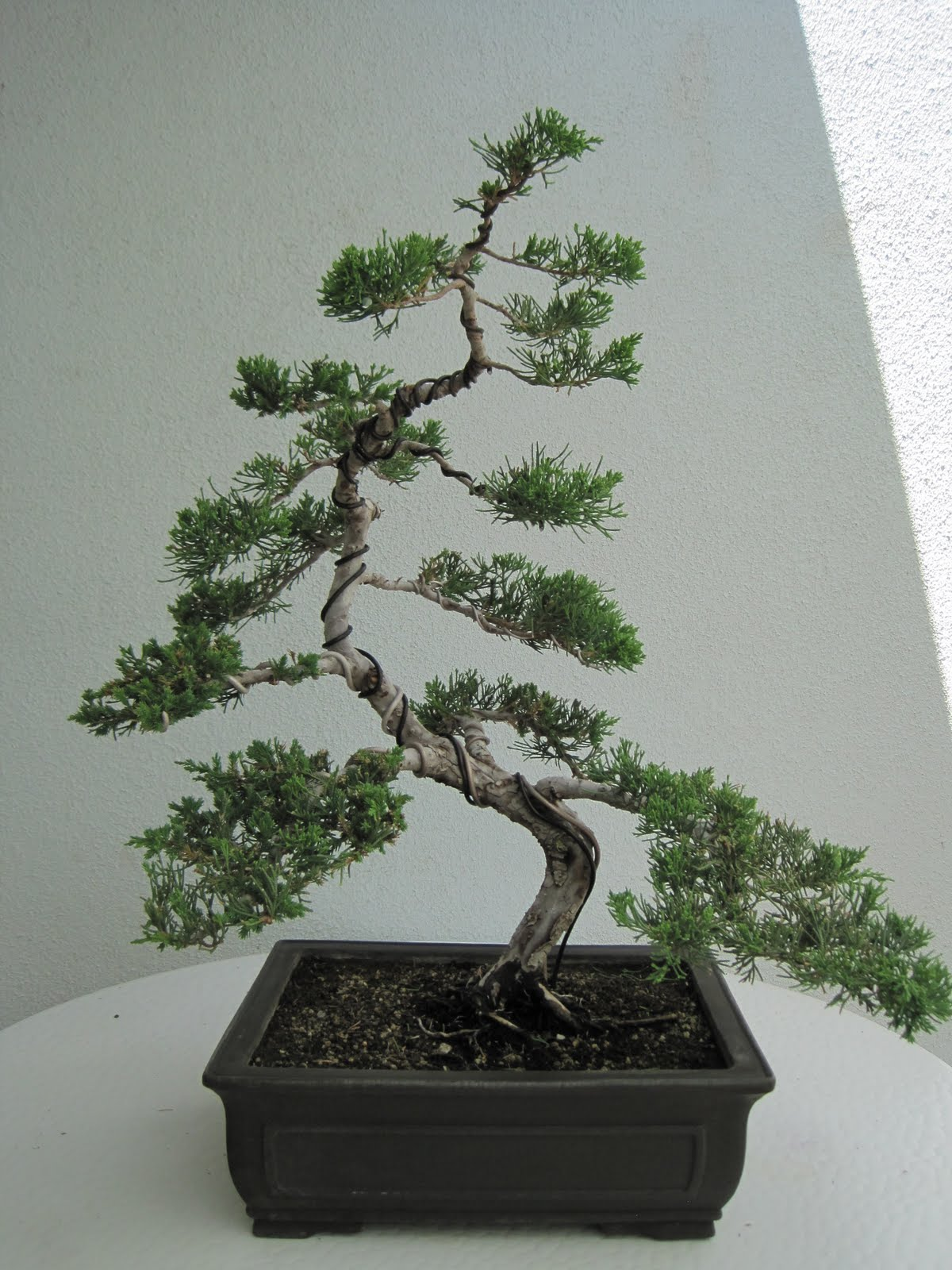 ShoChiku Bai Bonsai Club JUNE 2013 CURRENT BONSAI TREES FOR SALE