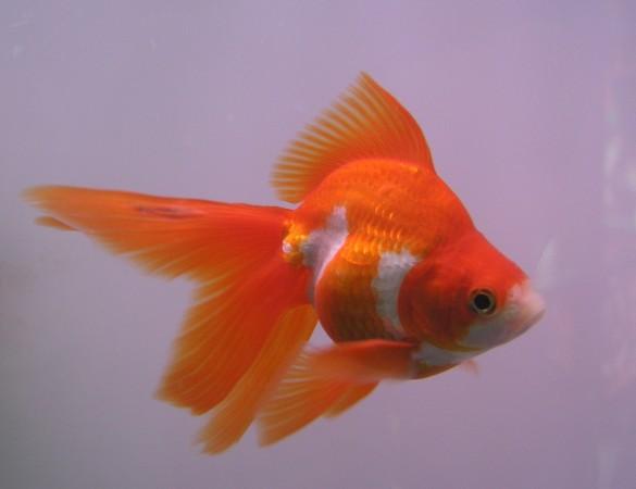 A tutta natura storia di un pesciolino dorato il pesce for Pesce oranda