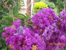 Flores del Crespon