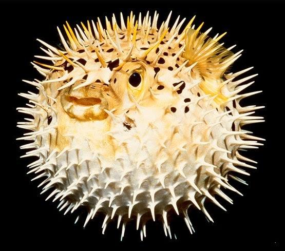 Aqua marine discovery puffer fish for Puffer fish puffing